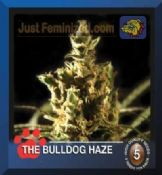 Bulldog the bulldog haze female Cannabis Seeds buy online